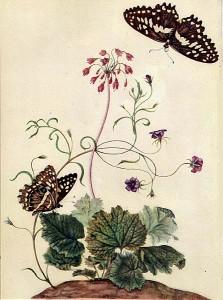 Мария Сибила Мериан. Рисунок.