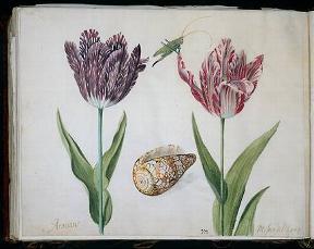 Якоб Моррель. Два тюльпана, раковина и насекомое. Амстердам, Рейксмузеум
