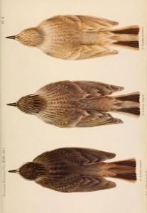 Орнитологическая иллюстрация, 1911 год